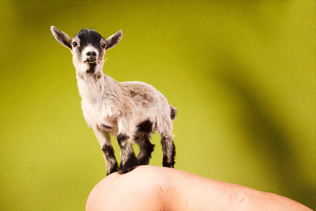 2012-pygmy_goat_calla_green-reach_out_im_right_here-web-sm